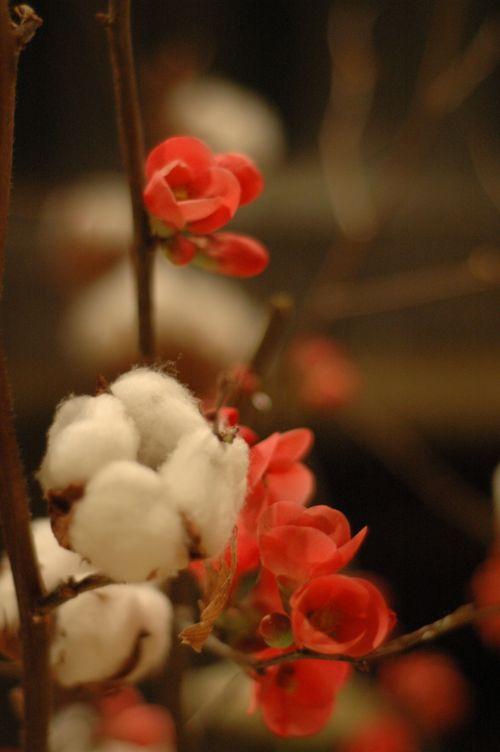 Détail sur une branche de coton et des fleurs de pommiers du japon.
