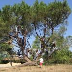 Un pin courbé par une tempête trouve une nouvelle jeunesse en ouvrant ses branches aux enfants.