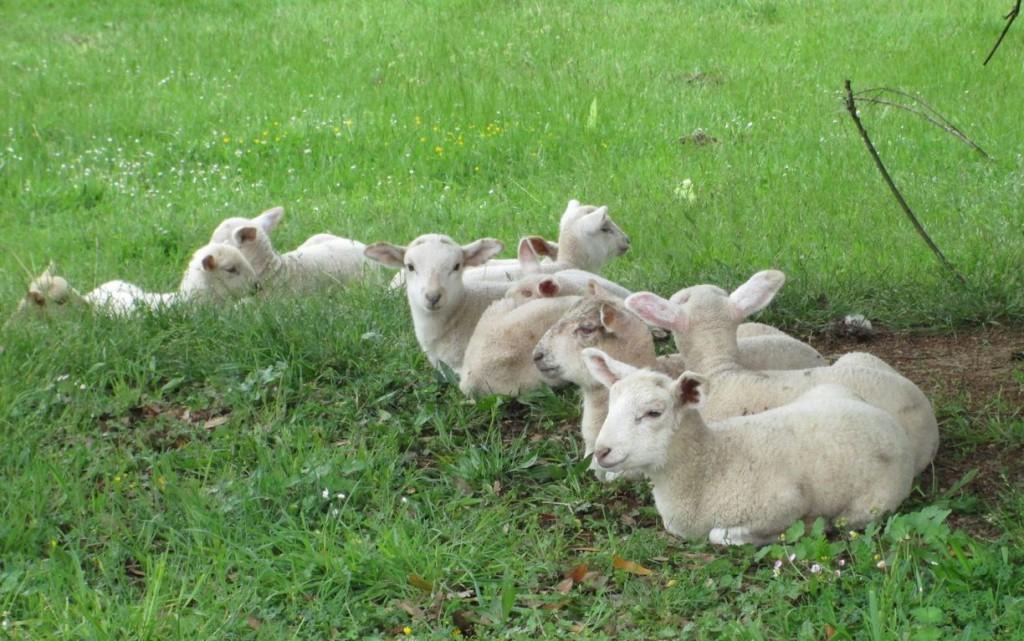 Des agneaux couchés sur l'herbe verte.