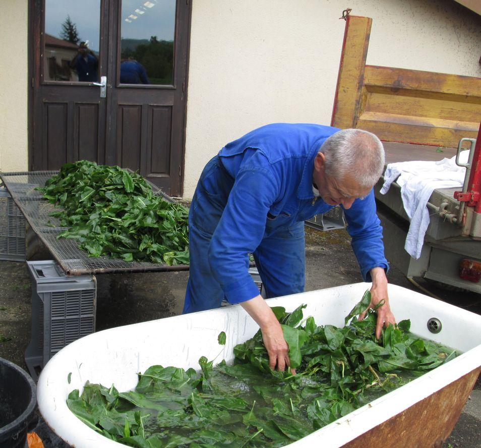 Un frère lave les feuilles de tisane dans une vieille baignoire.