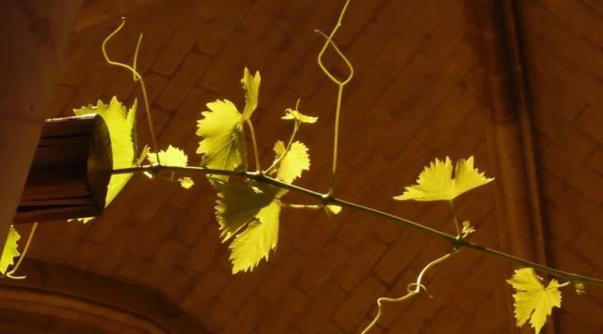 feuilles de vigne baignées de lumière