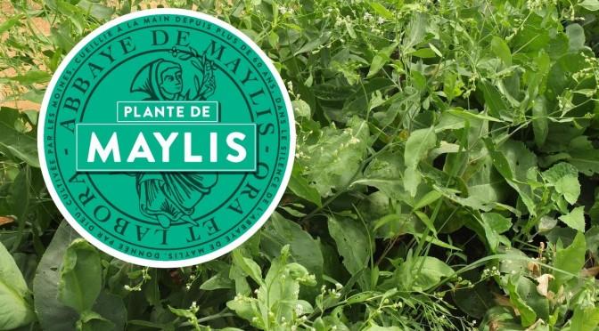 Plante des moines de Maylis : du nouveau !