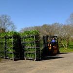 Arrivée de nouveaux plants de tisane, élevés en serre durant l'hiver.