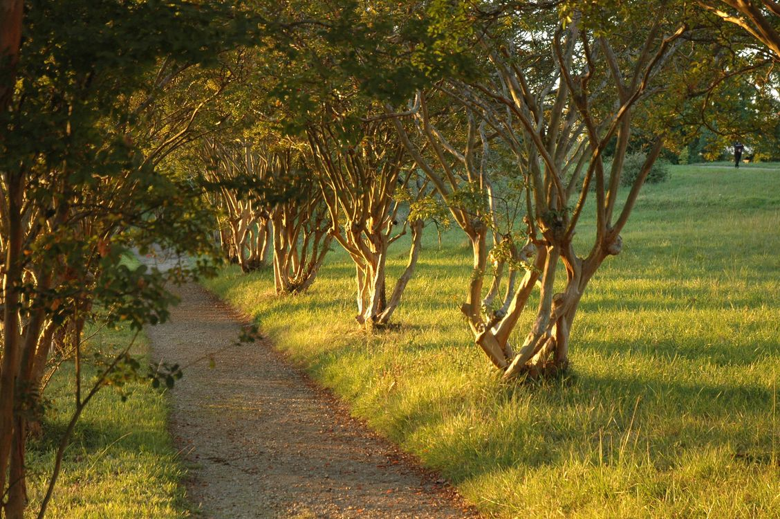 """Le soleil rasant du soir se fraie un chemins entre les troncs des arbustes que l'on nomme aussi """"Lila des Indes"""""""