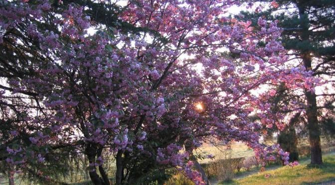prunus en fleurs dans le soleil levant