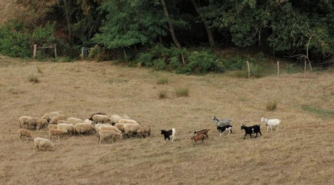 Brebis et chèvres dans un champs